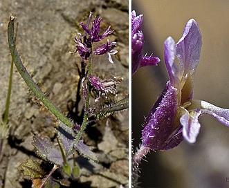 Streptanthus hispidus