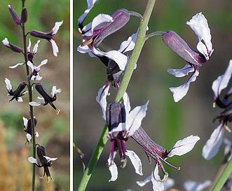 Streptanthus hyacinthoides