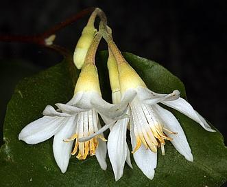 Styrax redivivus