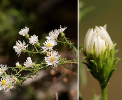 Symphyotrichum porteri