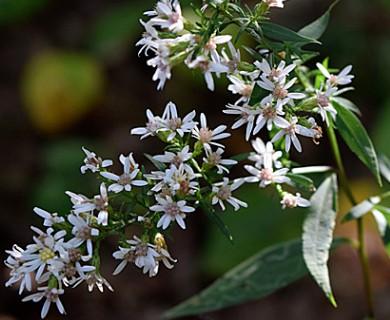Symphyotrichum urophyllum