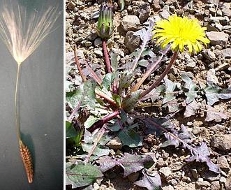 Taraxacum erythrospermum