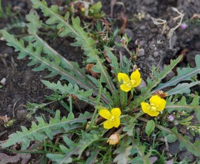 Taraxia breviflora