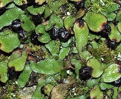 Targionia hypophylla