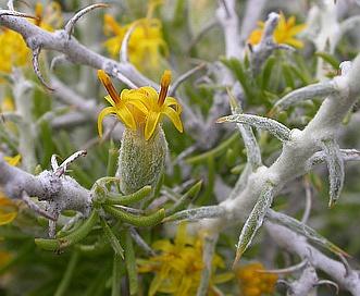 Tetradymia spinosa