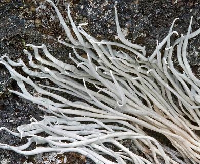 Thamnolia subuliformis