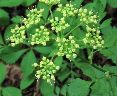 Thaspium chapmanii