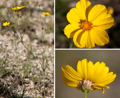 Thelesperma simplicifolium
