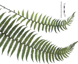 Thelypteris hispidula