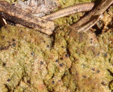 Thrombium epigaeum