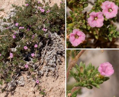 Tiquilia hispidissima