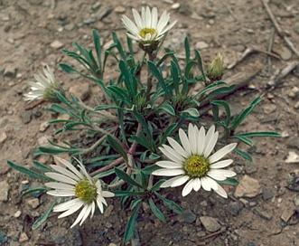 Townsendia grandiflora