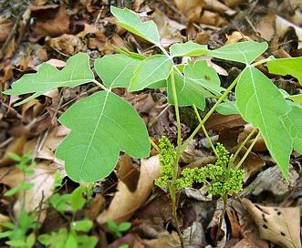 Toxicodendron pubescens