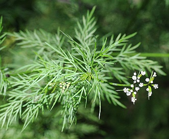 Trepocarpus aethusae