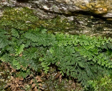Trichomanes boschianum