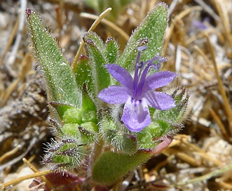 Trichostema austromontanum