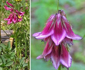 Trifolium brandegeei