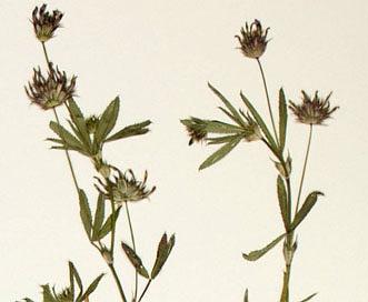 Trifolium mucronatum