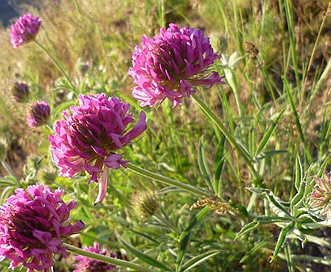 Trifolium thompsonii