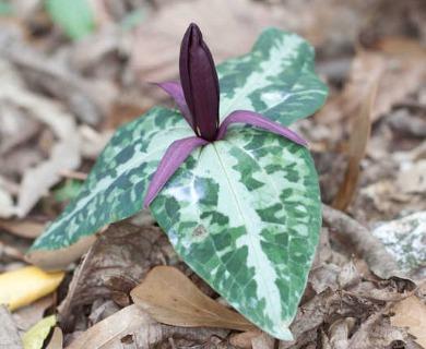 Trillium underwoodii