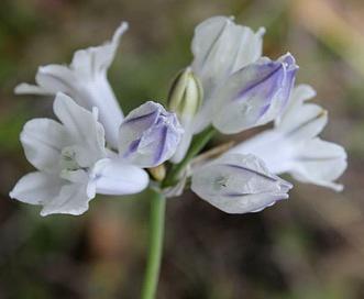 Triteleia grandiflora