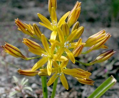 Triteleia montana