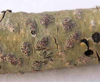 Trypethelium virens