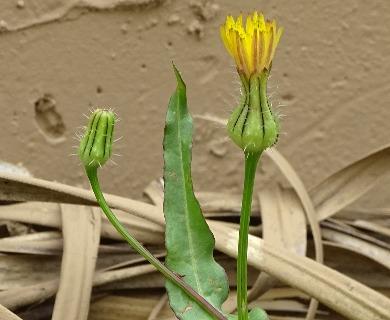 Urospermum picroides