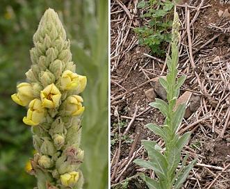Verbascum thapsus