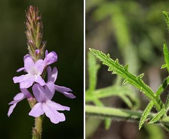 Verbena neomexicana