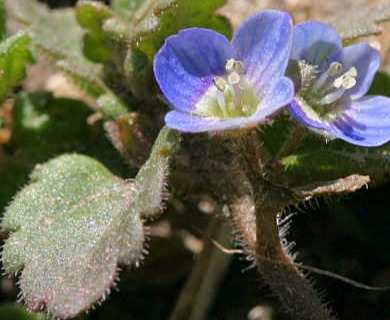 Veronica agrestis