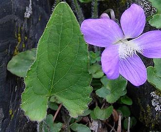 Viola novae-angliae