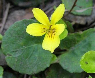 Viola orbiculata