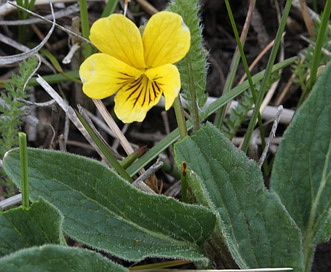 Viola praemorsa