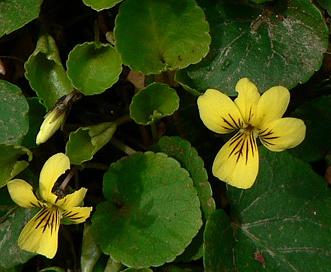 Viola sempervirens