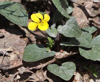 Viola utahensis