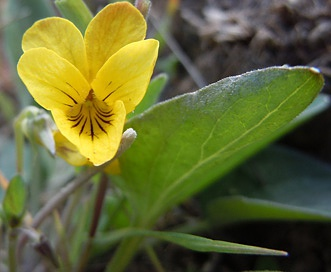 Viola vallicola