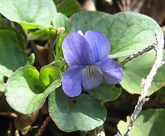 Viola walteri