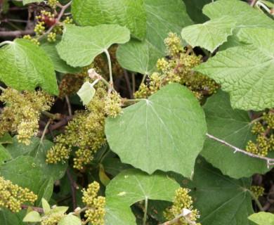 Vitis mustangensis