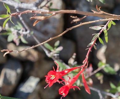 Xylonagra arborea
