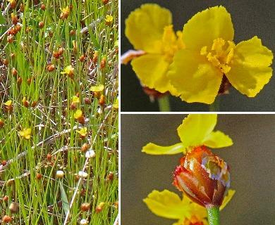 Xyris brevifolia