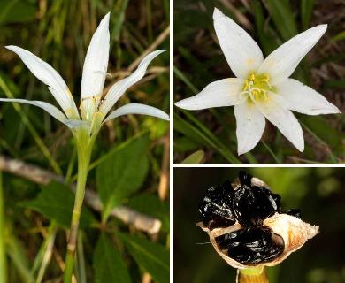 Zephyranthes treatiae