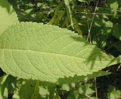 Eutrochium purpureum