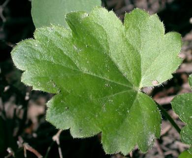 Heuchera richardsonii