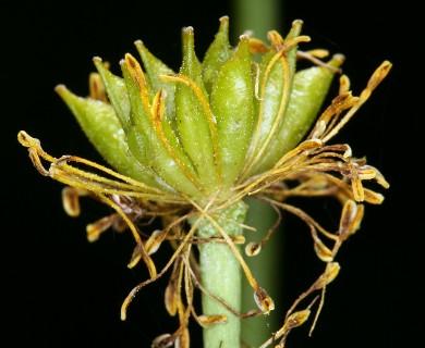 Caltha leptosepala