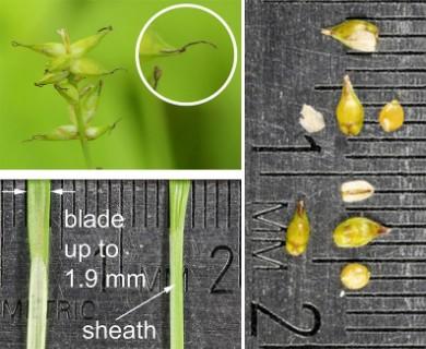 Carex radiata