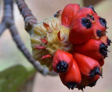 Cornus nuttallii