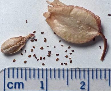 Erythranthe guttata