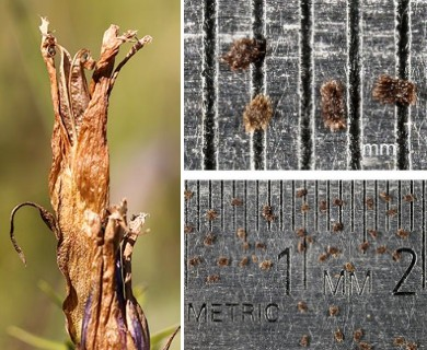 Gentianopsis crinita