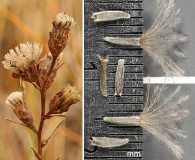 Liatris cylindracea